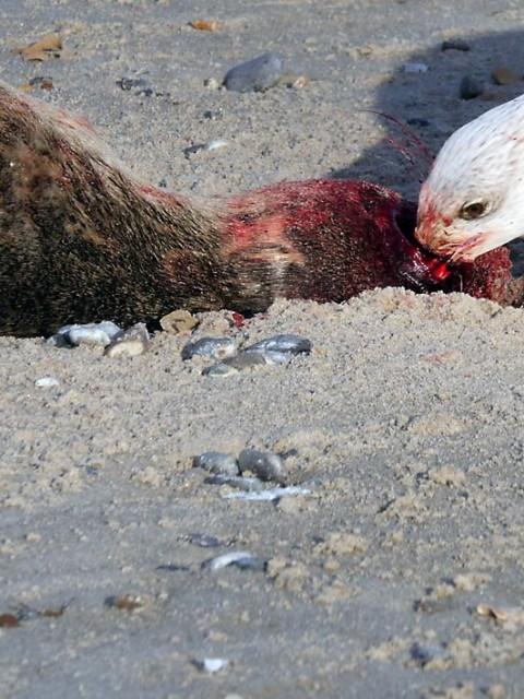 Robben teilen beim Tod das Schicksal des Menschen | Bild: Andreas Bubrowski